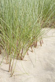 Marram grass — Stock Photo