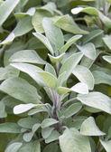 Sage plant in herb garden — Stock Photo