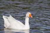 White Emden goose — Stock Photo