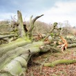 Stock Photo: Storm damaged fallen tree