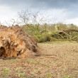 Stock Photo: Storm damaged fallen tree with exposed roots