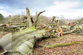 Storm damaged fallen tree — Stock Photo