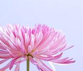 Pink chrysanthemum flower on blue background — Stock Photo
