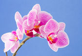Phalaenopsis moth orchid flowers on blue background — Foto Stock
