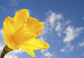Bright yellow daffodil on blue sky background — Stock Photo