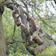 Group of young barbary macaques playing in a tree — Stock Photo #45958377