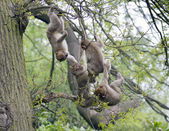 Group of young barbary macaques playing in a tree — Stock Photo