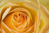 Close up image of orange and yellow rose — Stockfoto