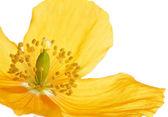 Yellow or Welsh Poppy — Foto de Stock
