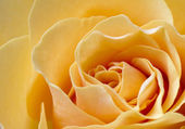 Close up beautiful peach color rose — Stock Photo