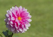 Single pink dahlia flower — Stock Photo