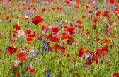 Red poppies and wild flowers — Foto de Stock