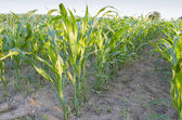 Rows of maize growing in a field — Stock Photo