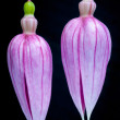 Stock Photo: Double fuchsia
