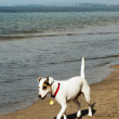 Stock Photo: Lone dog on beach