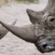 Rhinos — Stock Photo