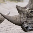 Stock Photo: Rhinos