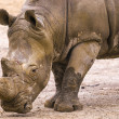 Stock Photo: Rhino at zoo