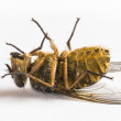 Dead fly — Stock Photo