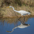 A determined Great Egret — Stock Photo