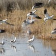 Avocets Take Off — Stock Photo