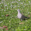 A Eurasian Collared Dove — Stock Photo
