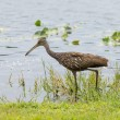 limpkin out for lunch — Stock Photo