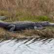 Shapely Sunbathing Alligator — Stock Photo