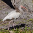 A Young White Ibis Gazing Upward — Lizenzfreies Foto
