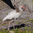A Young White Ibis Gazing Upward — Stock Photo