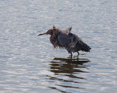 Reddish Egret Bad Hair Day — Стоковое фото