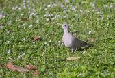 A Eurasian Collared Dove — Stock Photo