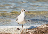 Laughing Gull Strut — Stock Photo