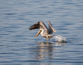 Brown Pelican Take Off — Stock Photo