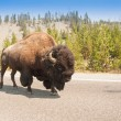 American Bison Sharing the Road — Stock Photo #25596455