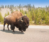 American Bison Sharing the Road — Stock Photo
