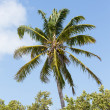 Coconut Palm Tree — Stock Photo #25772541