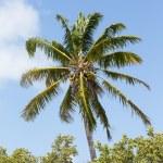 Coconut Palm Tree — Stock Photo #25772541