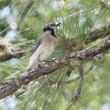 Stock Photo: Blue Jay Out on Limb