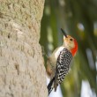 The Red Bellied Woodpecker Stare — Stock Photo #25772563