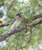 Blue Jay Out on a Limb — Stock Photo