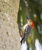 The Red Bellied Woodpecker Stare — Стоковое фото