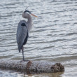 Great Blue Heron Pondering — Stock Photo