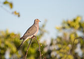 Mourning Dove Looking Upward — Stock Photo