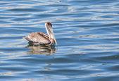 Brown Pelican Taking a Break — Stock Photo
