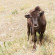 Stock Photo: Curious Young Bison