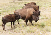 Bison Mom and Son — Stock Photo
