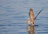 Pelican Lift Off — Stock Photo