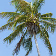 Windblown Coconut Palm — Stock Photo #27302101
