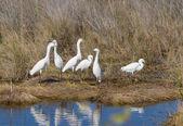 Snowy egret confab — Foto Stock